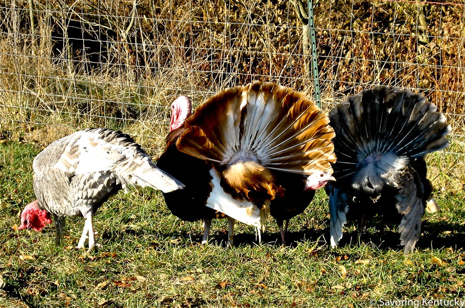 Turkeys on pasture at Elmwood Stock Farm, Georgetown, Kentucky