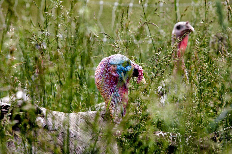 Elmwood Stock Farm turkeys. Photo credit:  Sarah Jane Sanders . Thank you!