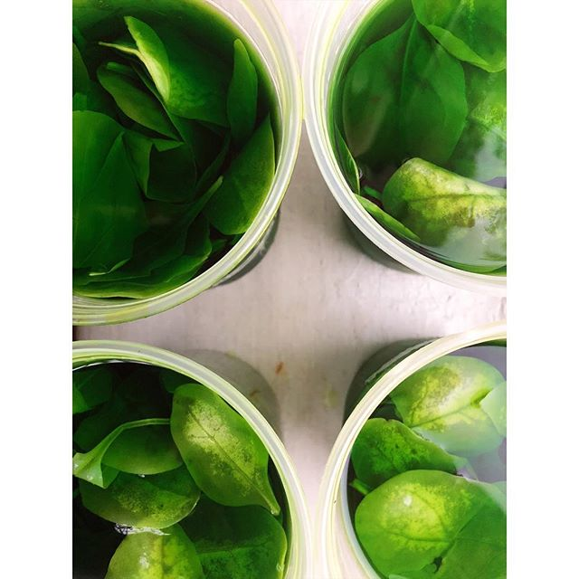 Spinach for our cucumber bitters. 🌿🌿🌿
