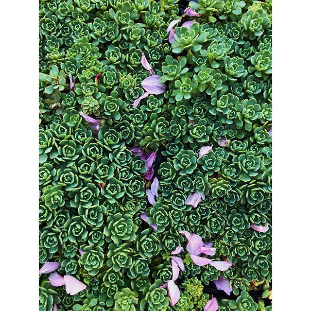 """Coral Reef"" sedum dusted with cherry blossoms @brooklynbotanic"