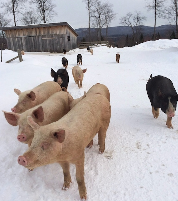 pigs_in_snow_2ea1225.jpg