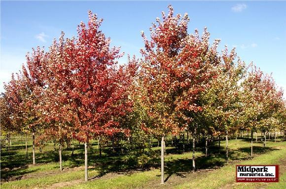 580_Autumn_Blaze_Maple_5in_06_1006_web.jpg