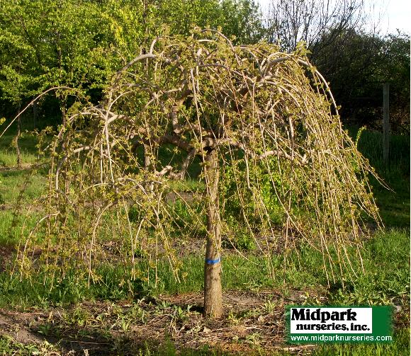 580_Weeping_Mulberry_4in_08_0523.jpg
