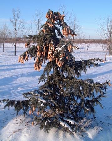 Moerheim Blue Spruce 7 ft height