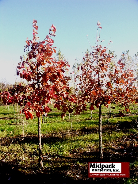 450_Quercus_bicolor_2to3in_06_1014_web.jpg