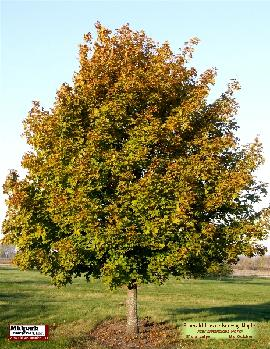"Acer platanoides cv ...Emerald Lustre Norway Maple ...8"" dia cal ...October"