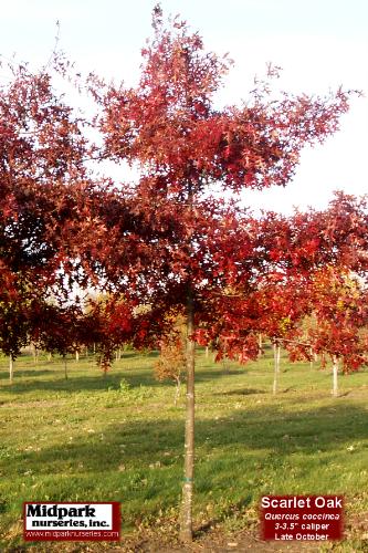 """...Quercus coccinea   ...3-3.5"""" dia cal  ...Late October"""