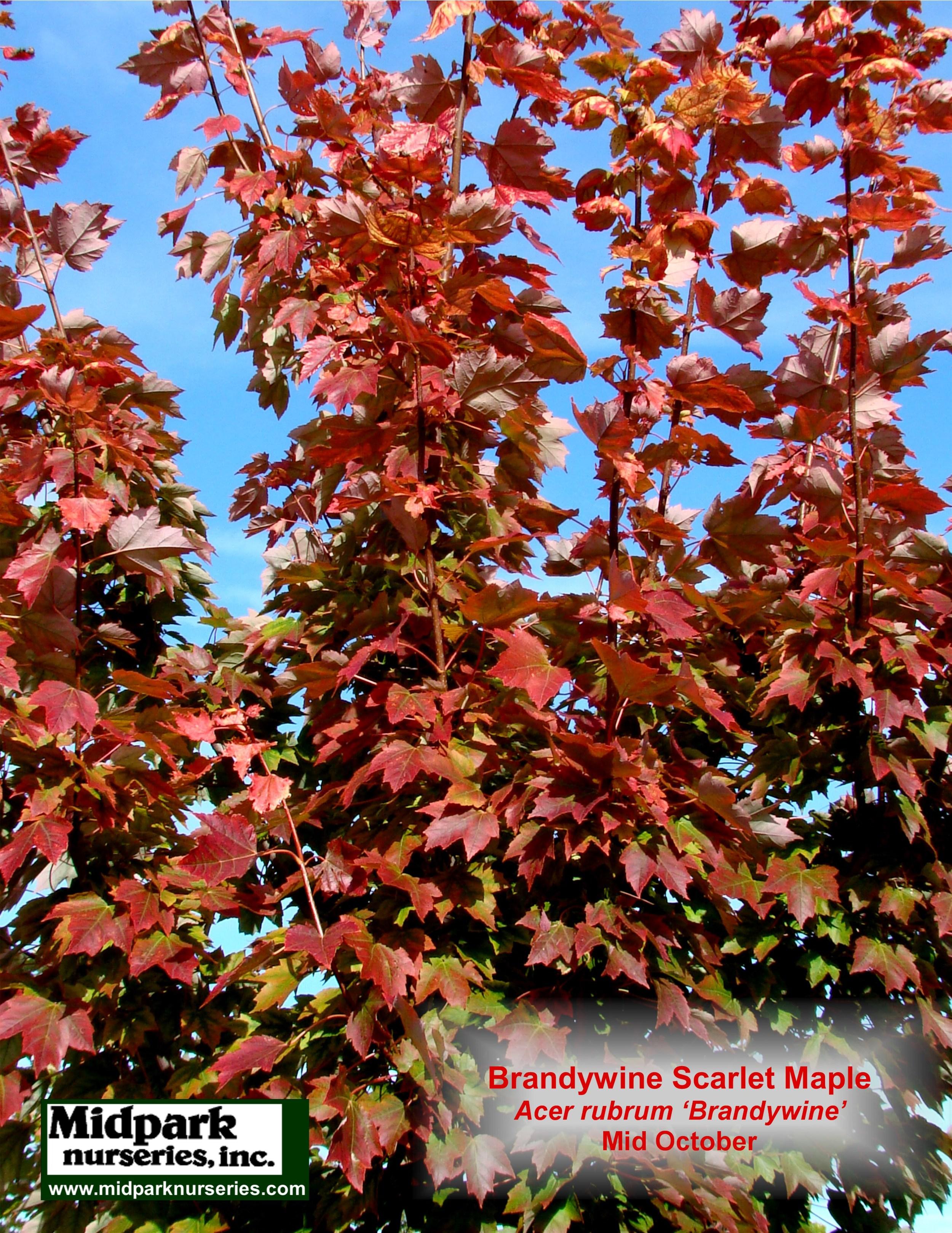 Brandywine Scarlet Maple