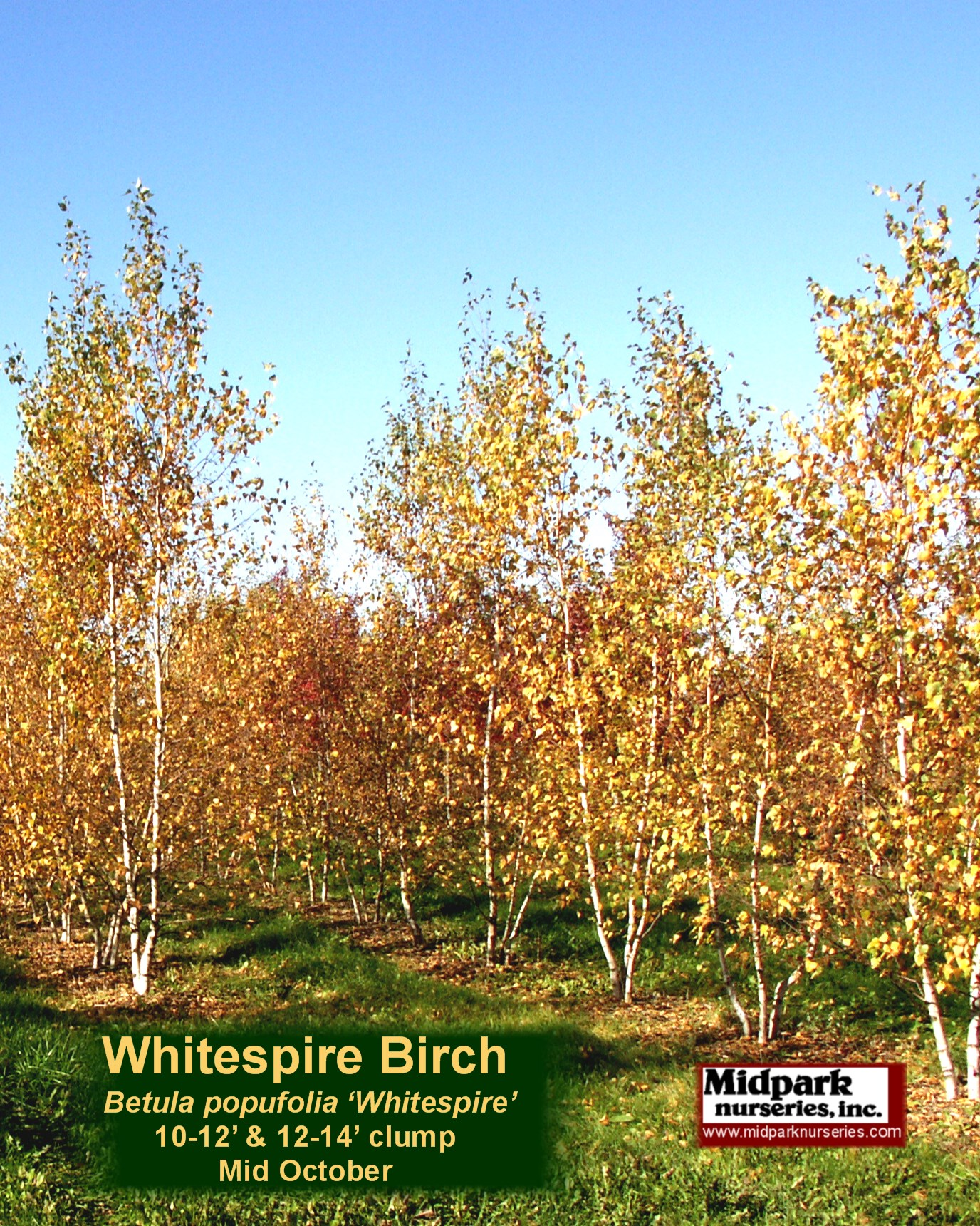 Whitespire_Birch_10to14ft_07_1025_8x10.jpg