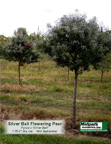 Silver_Ball_Pear_2in_12_0923_8x11.png