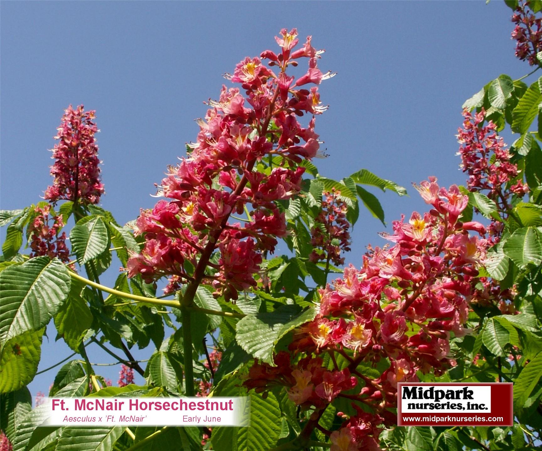 website_FtMcNairHorsechestnut_08_0601.JPG