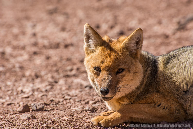 Andean Fox 2, Andes Mountains, Mendoza, Argentina
