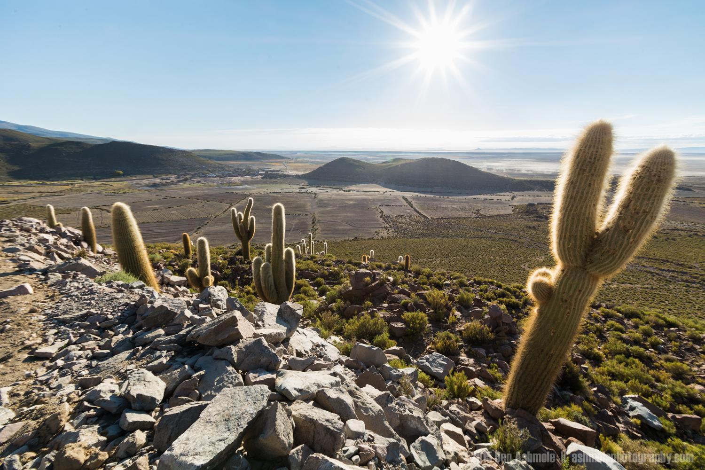 Cactus In the Desert Sun, Bolivian Highlands