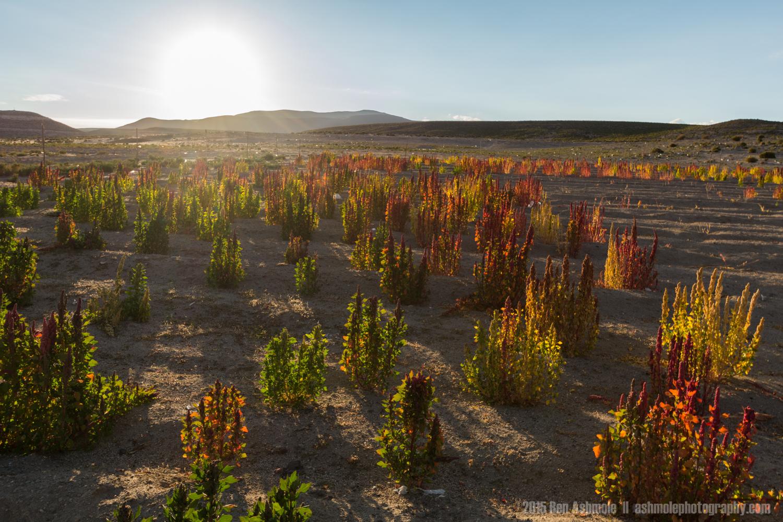 Quinoa Plants, Bolivian Highlands
