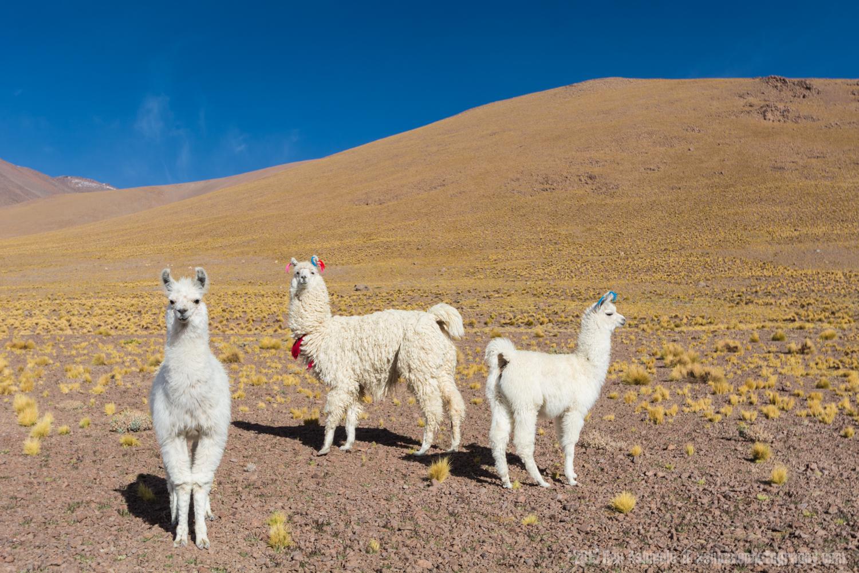 Inquisitive Llamas, Bolivian Highlands