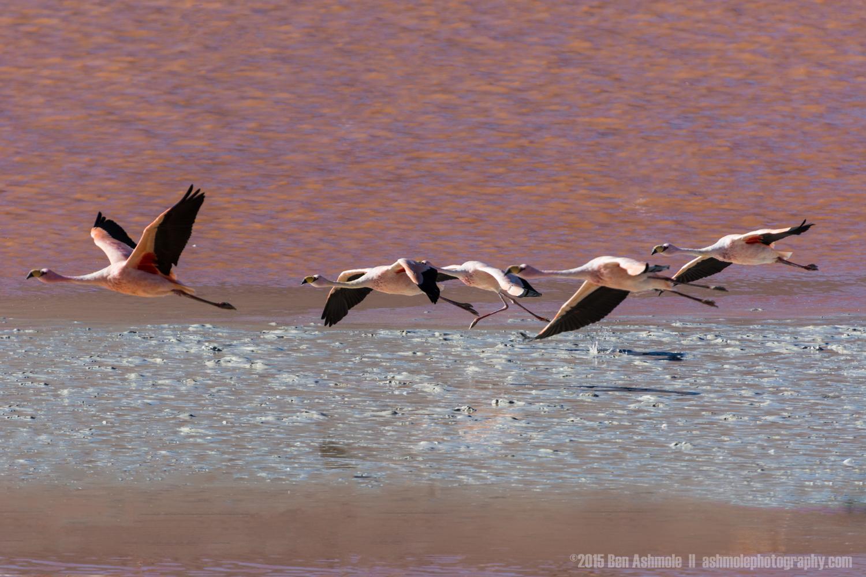 Flamingos In Flight, Lago Colorada, Bolivian Highlands