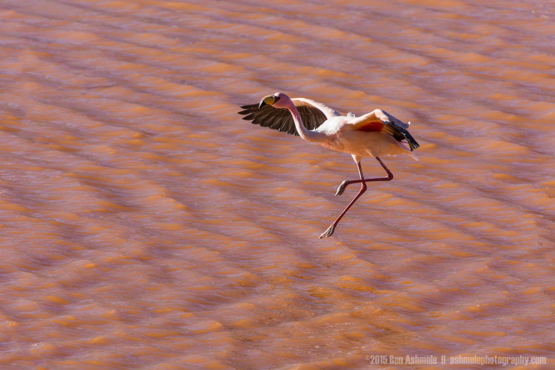 Landing Flamingo, Lago Colorada, Bolivian Highlands