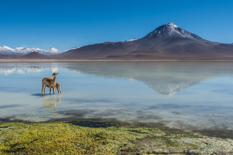 Vicuña Mother And Young, Laguna Blanca, Bolivia