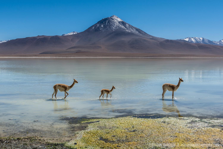 Vicuña Family, Laguna Blanca, Bolivia