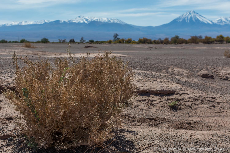 The Desert Bush, San Pedro De Atacama, Chile