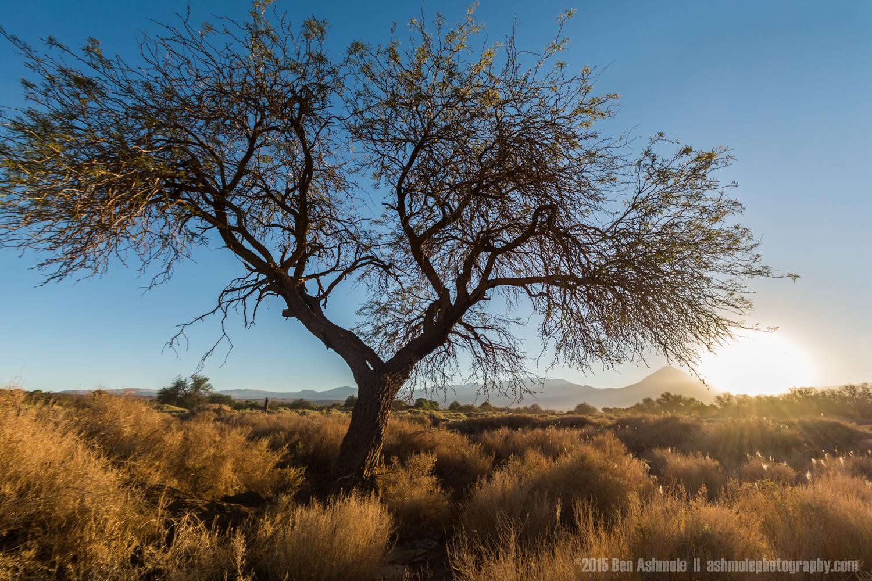 The Desert Tree, San Pedro De Atacama, Chile