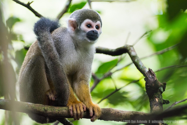 Squirrel Monkey, Amazon Rainforest, Tena, Ecuador