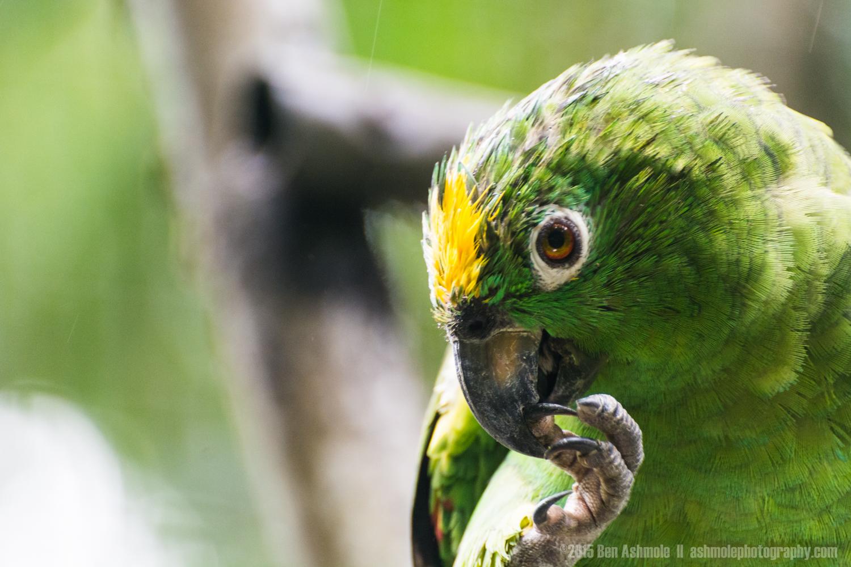Amazon Bird, Merazonia Wildlife Sanctuary, Ecuador