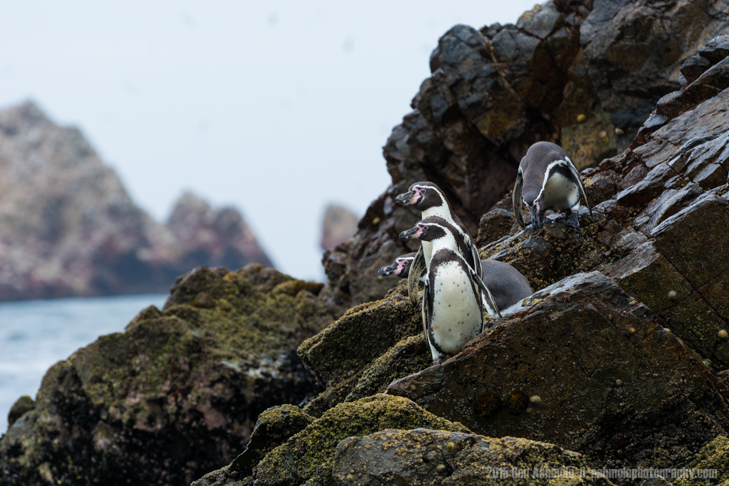 Inquisitive Penguins, Ballestas Islands, Peru