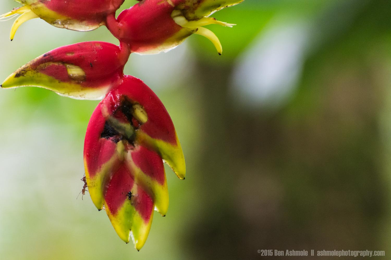 Amazon Flower, Tena, Ecuador