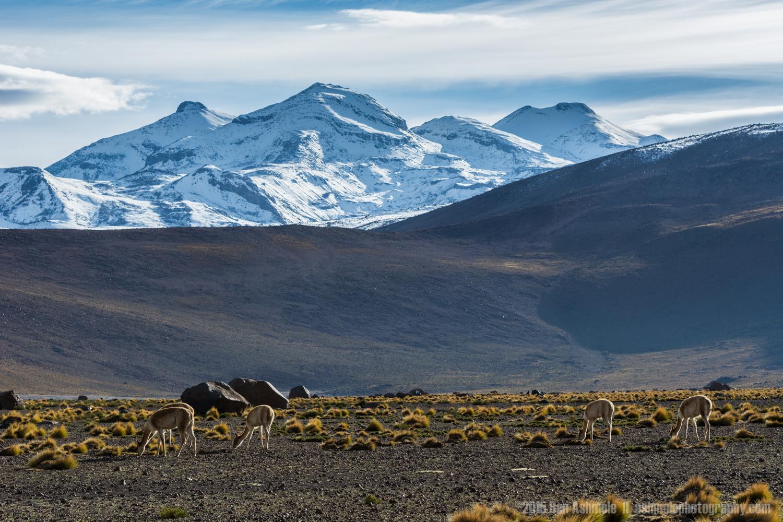Vicuña Grazing, San Pedro De Atacama, Chile