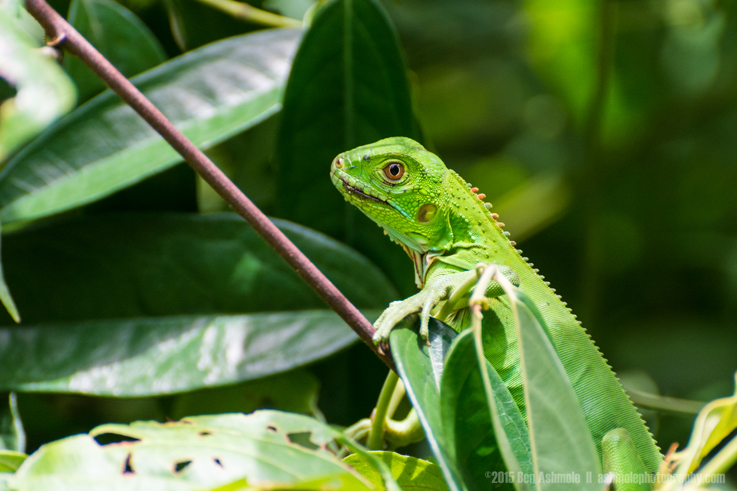 Jungle Lizard, Manuel Antonio National Park, Costa Rica