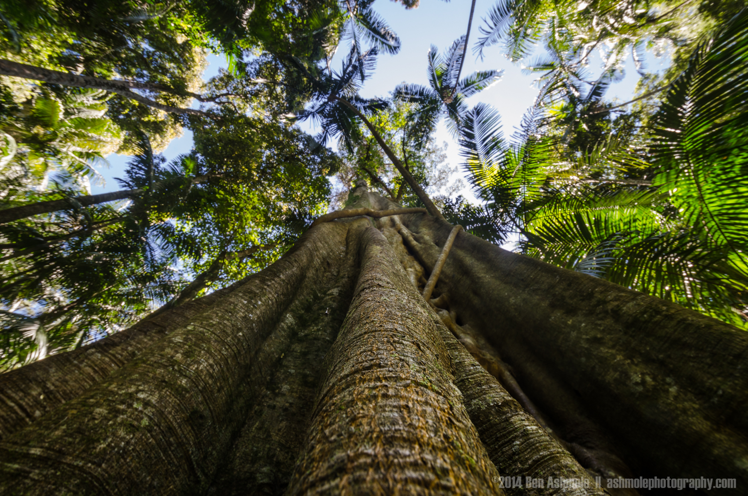 The Forest Canopy, Mt Tambourine, Queensland, Australia