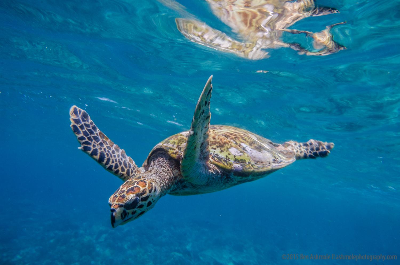 Hawksbill Sea Turtle, Gili Meno, Indonesia
