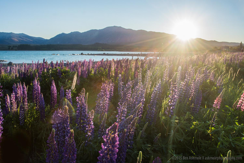 Lupines At Sunrise 2, Lake Tekapo, New Zealand