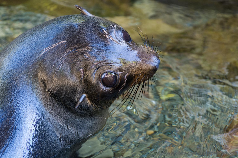 Fur Seal Pup 2, Kaikoura, New Zealand