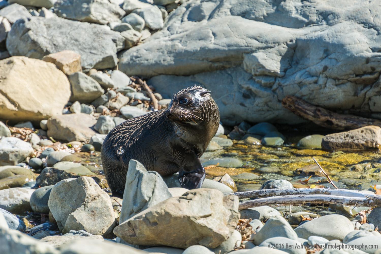Fur Seal Pup, Kaikoura, New Zealand