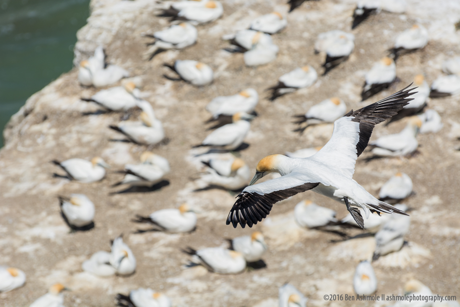 Gannet Hovering Over Colony, Muriwai Beach, New Zealand