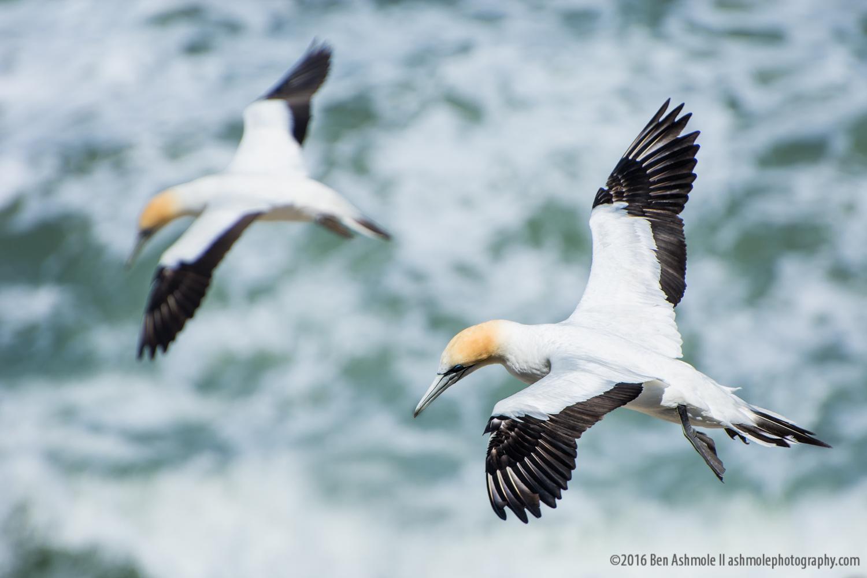 Gliding Gannets, Muriwai Beach, New Zealand