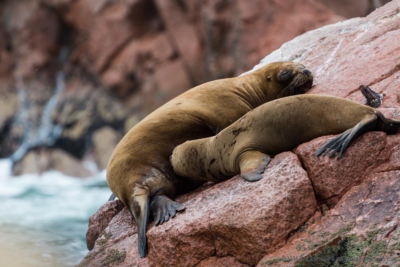 Lazy Seals, Ballestas Islands, Peru