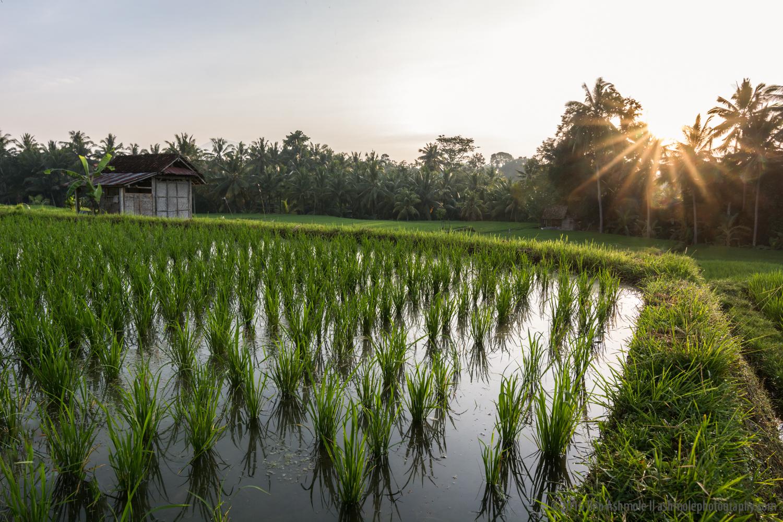 Morning Rice Terraces 2, Ubud, Bali, Indonesia
