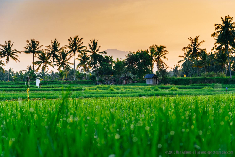 Morning Rice Fields, Ubud, Bali, Indonesia