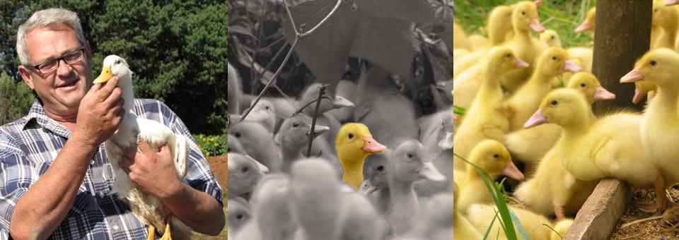 Dargle Ducks