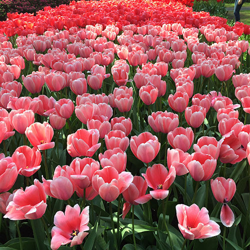 An American In: Kuekenhof Tulip Gardens, Holland | Second Floor Flat