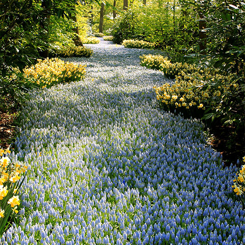 Keukenhof Tulip Gardens, South Holland by d.watterson.iii