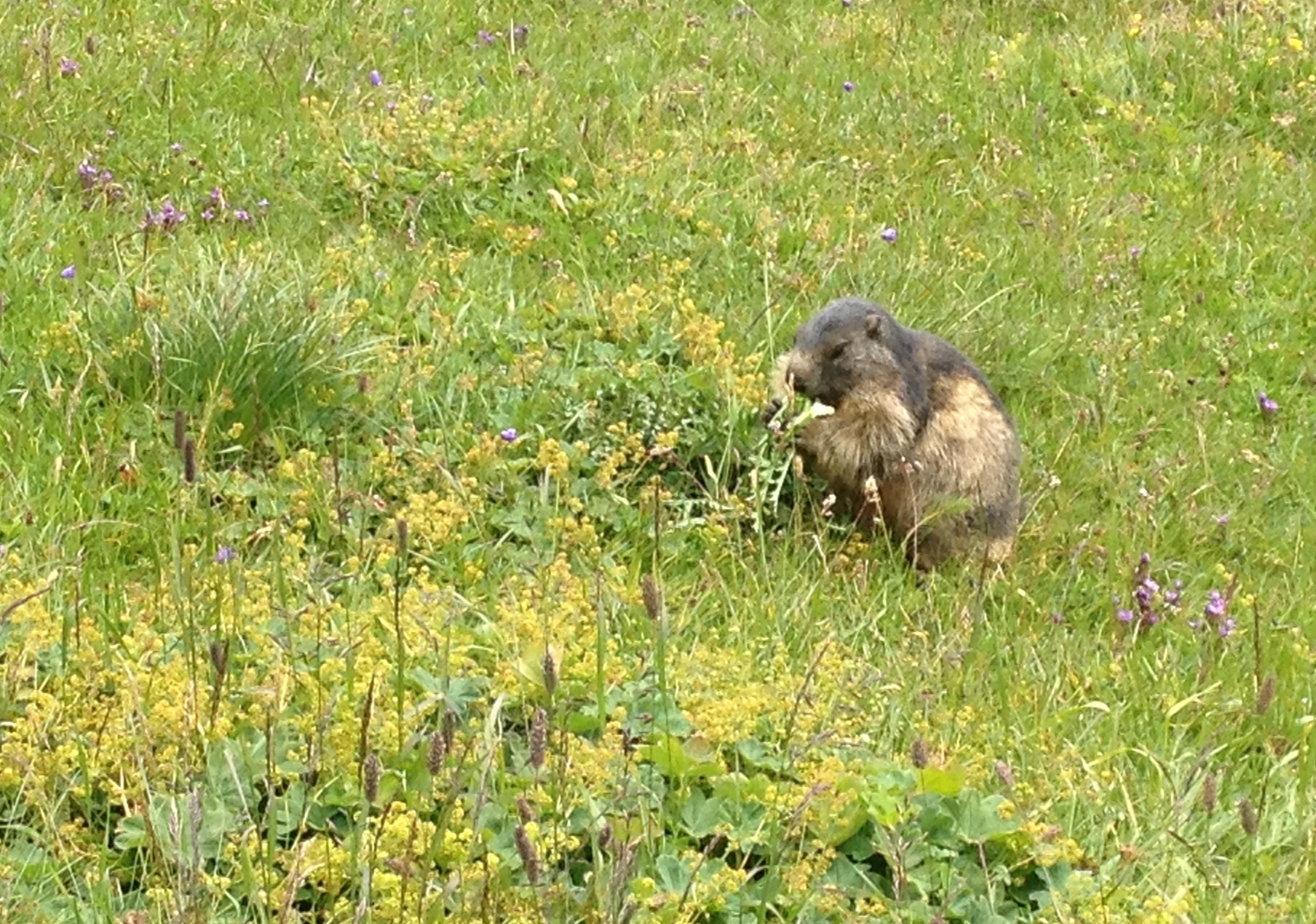 Marmots here are used to posing for tourists. © Eileen Hsieh
