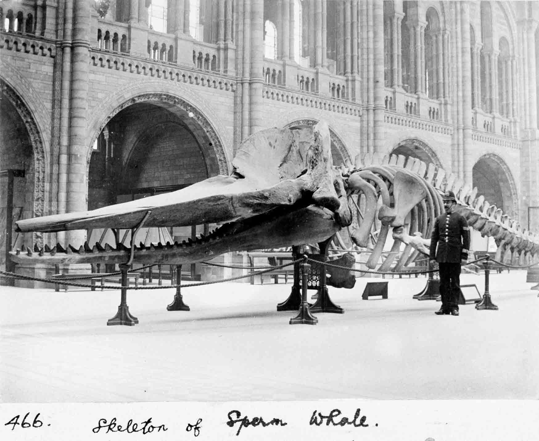 A Sperm whale skeleton occupied Central Hall in 1901. © The Trustees of the Natural History Museum, London