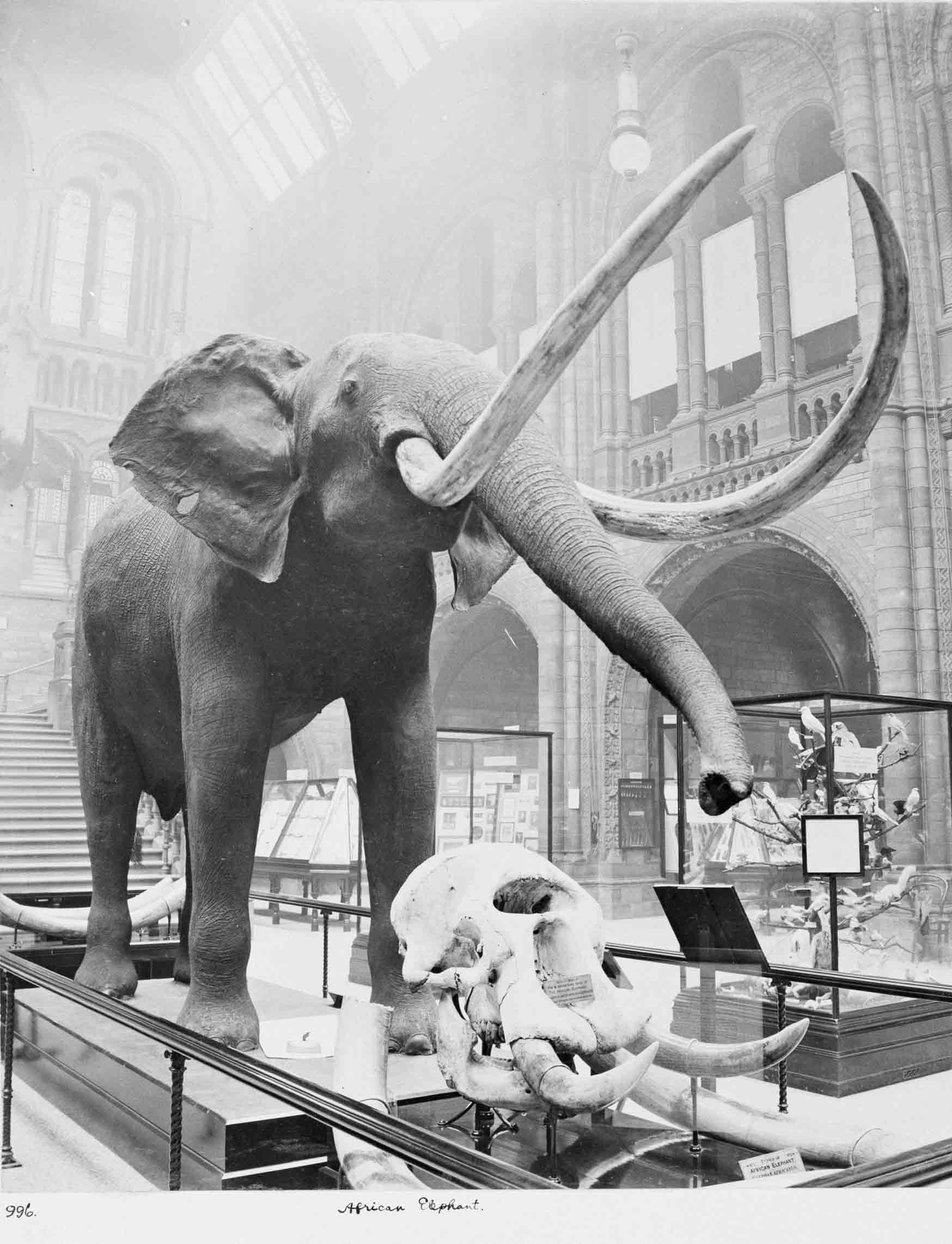 A very cool-looking African elephant in Central Hall, February 1910. © The Trustees of the Natural History Museum, London