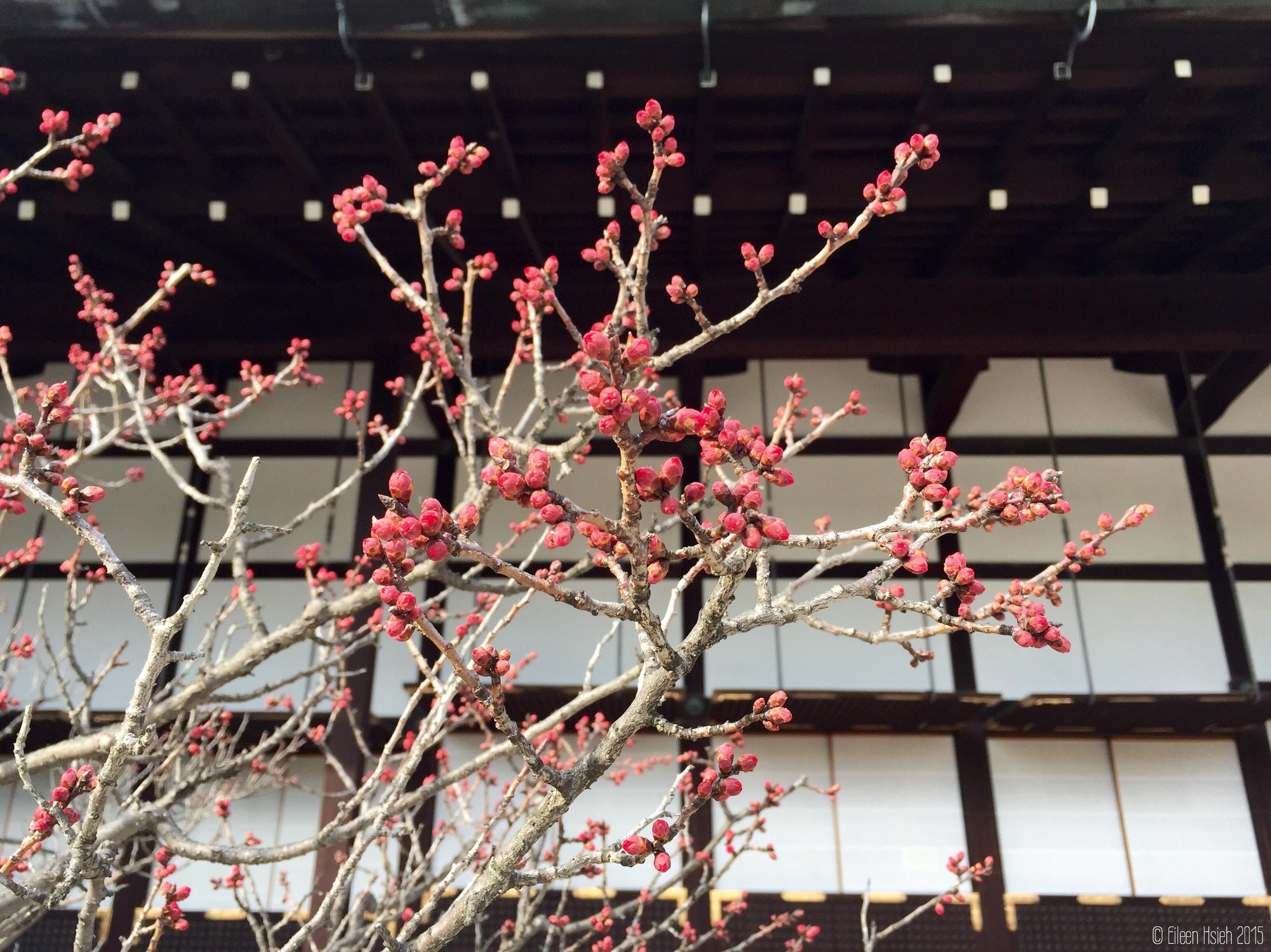 「 御常御殿」 外胭脂色的花苞。© Eileen Hsieh