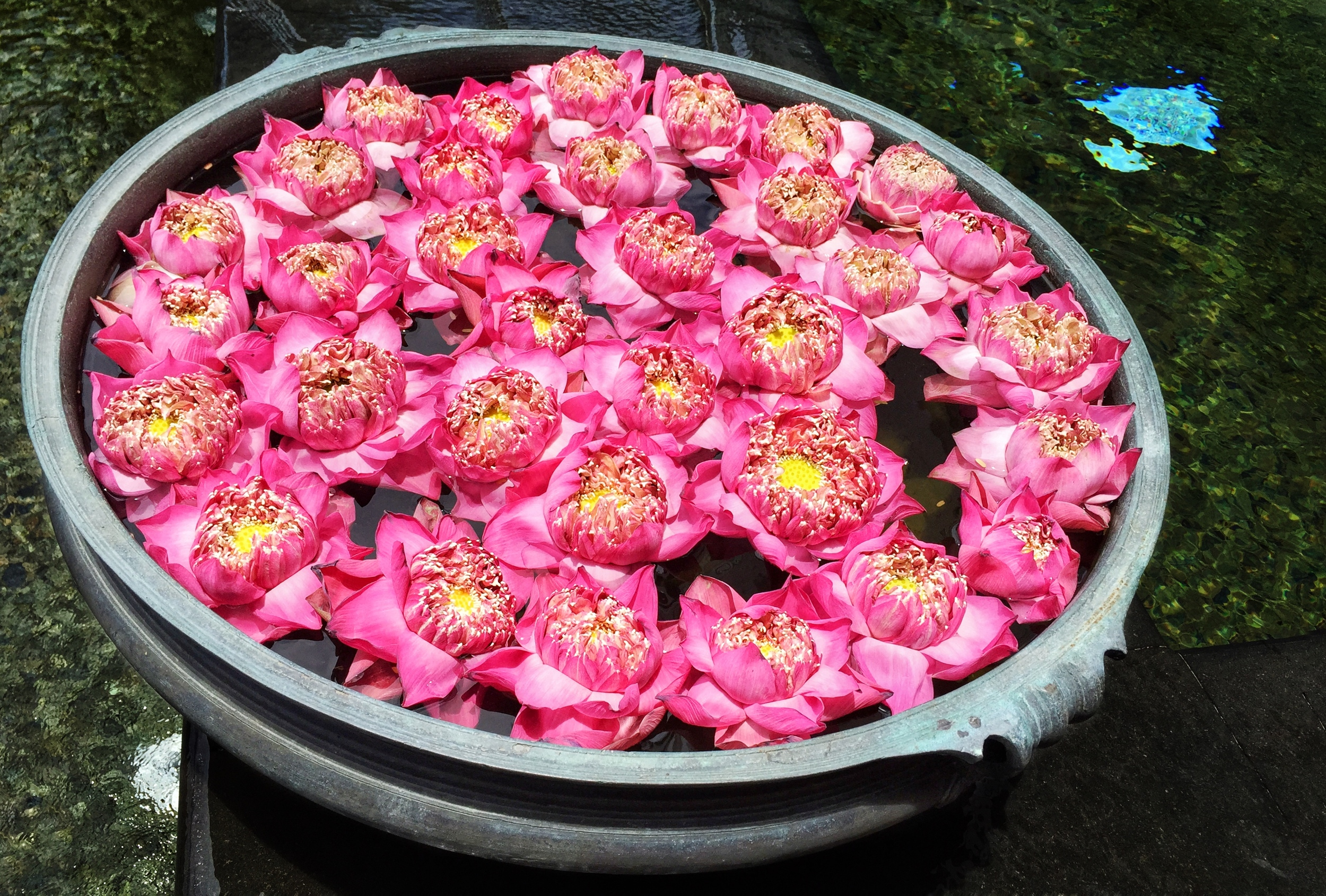 Floating pink lotus flowers by the wading pool. © Eileen Hsieh