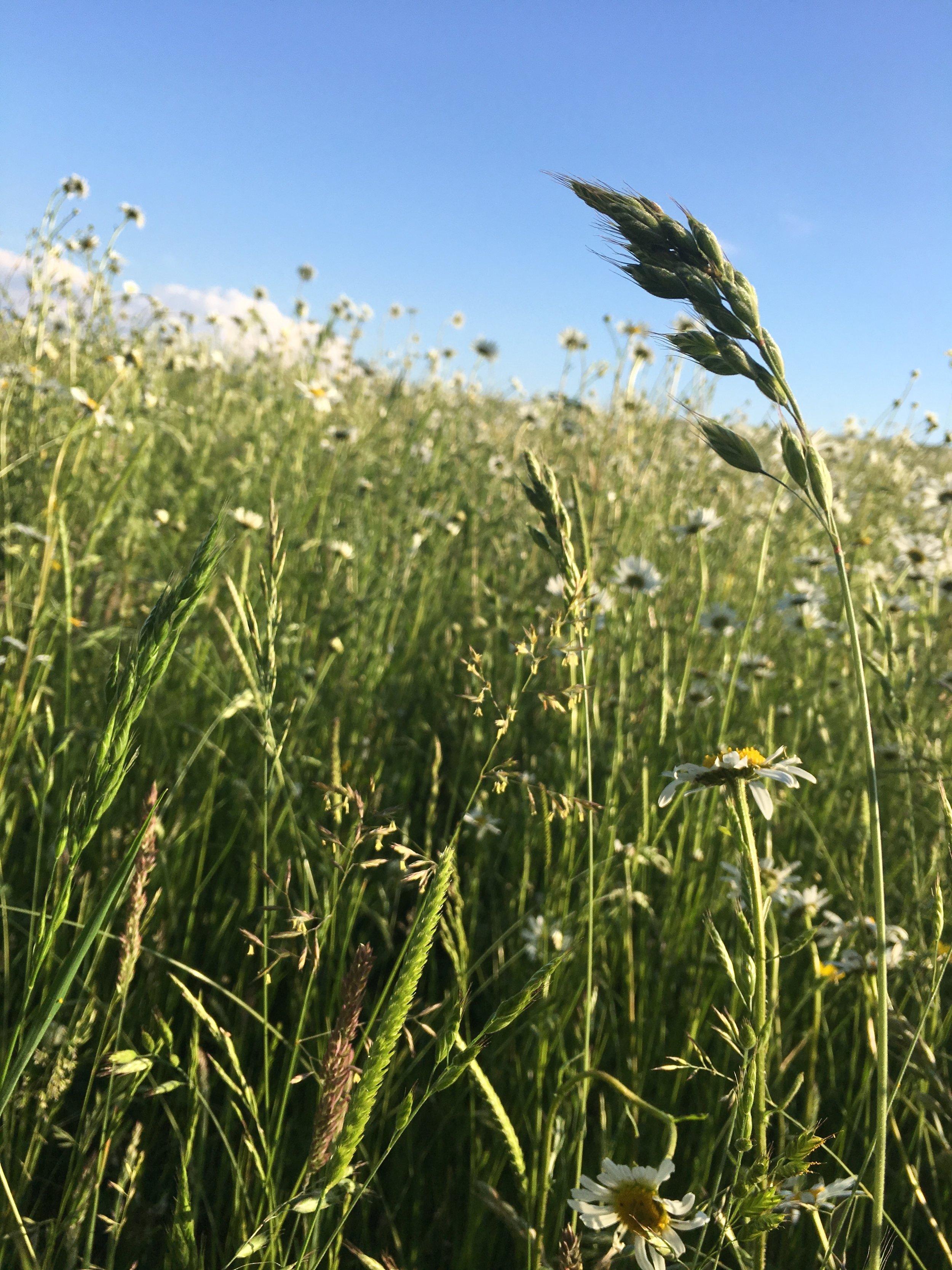 Eileen Hsieh follow that bug Waddesdon Estate wildflowers.jpg